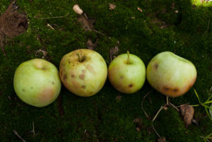 Apples damaged by brown marmorated stink bug