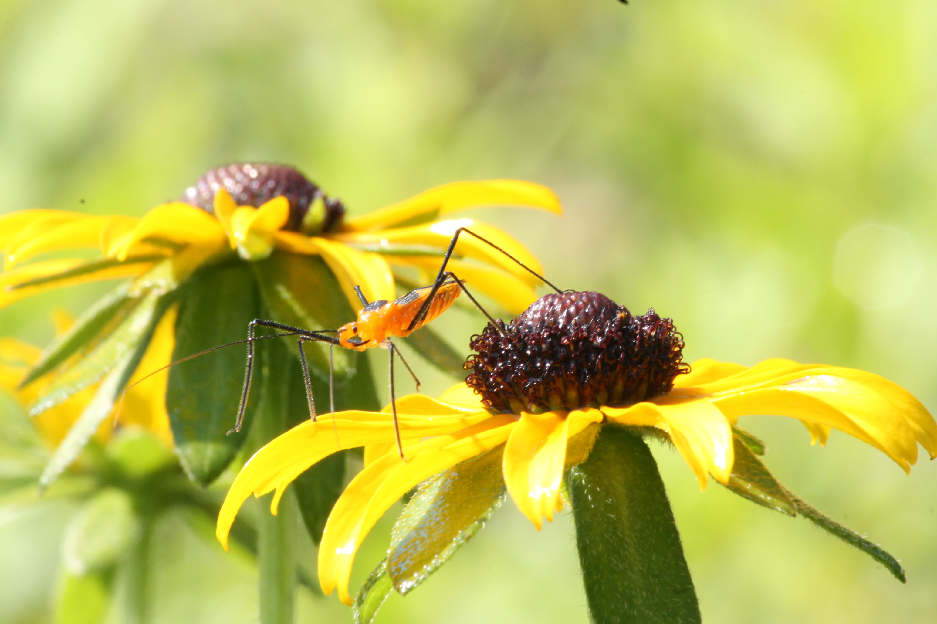 Image of an assassin bug
