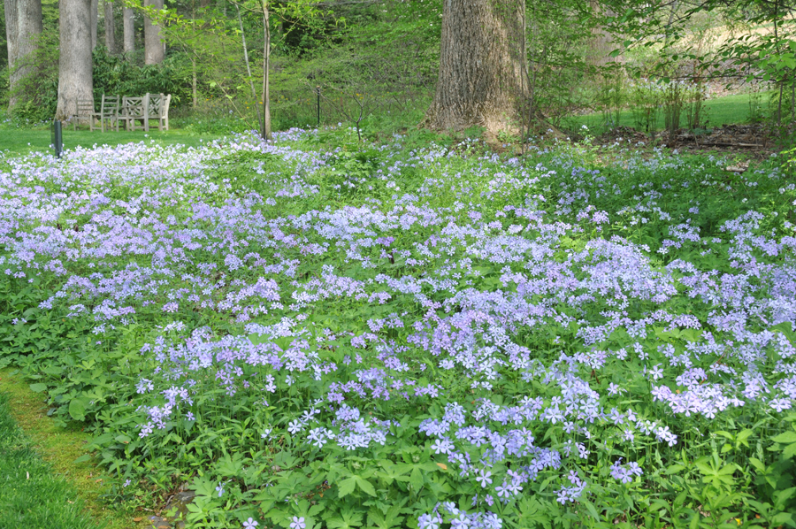 Image of woodland phlox