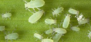 Aphids are notorious plant pests that can be successfully controlled with oily insecticides.