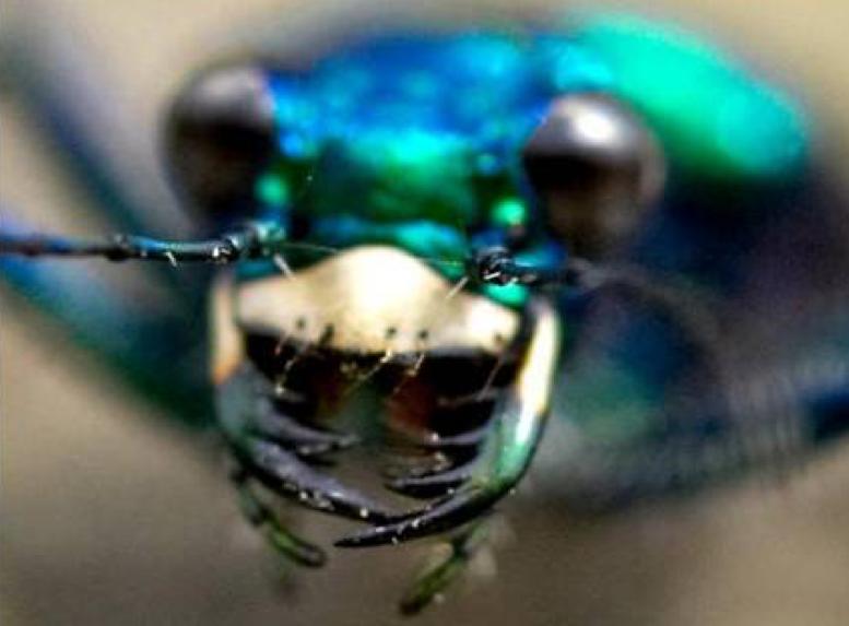 Carolina tiger beetle