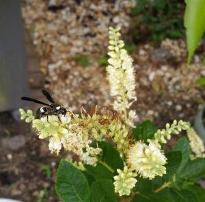 Pollinator landing on Summersweet