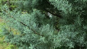 Cover photo for Learn to Grow: Arizona Cypress Var. Carolina Sapphire