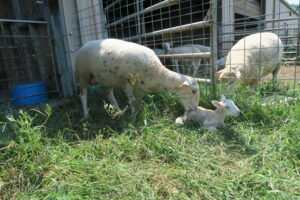 Cover photo for Lambing and Kidding Cheat Sheet for Beginning Small Ruminant Producers